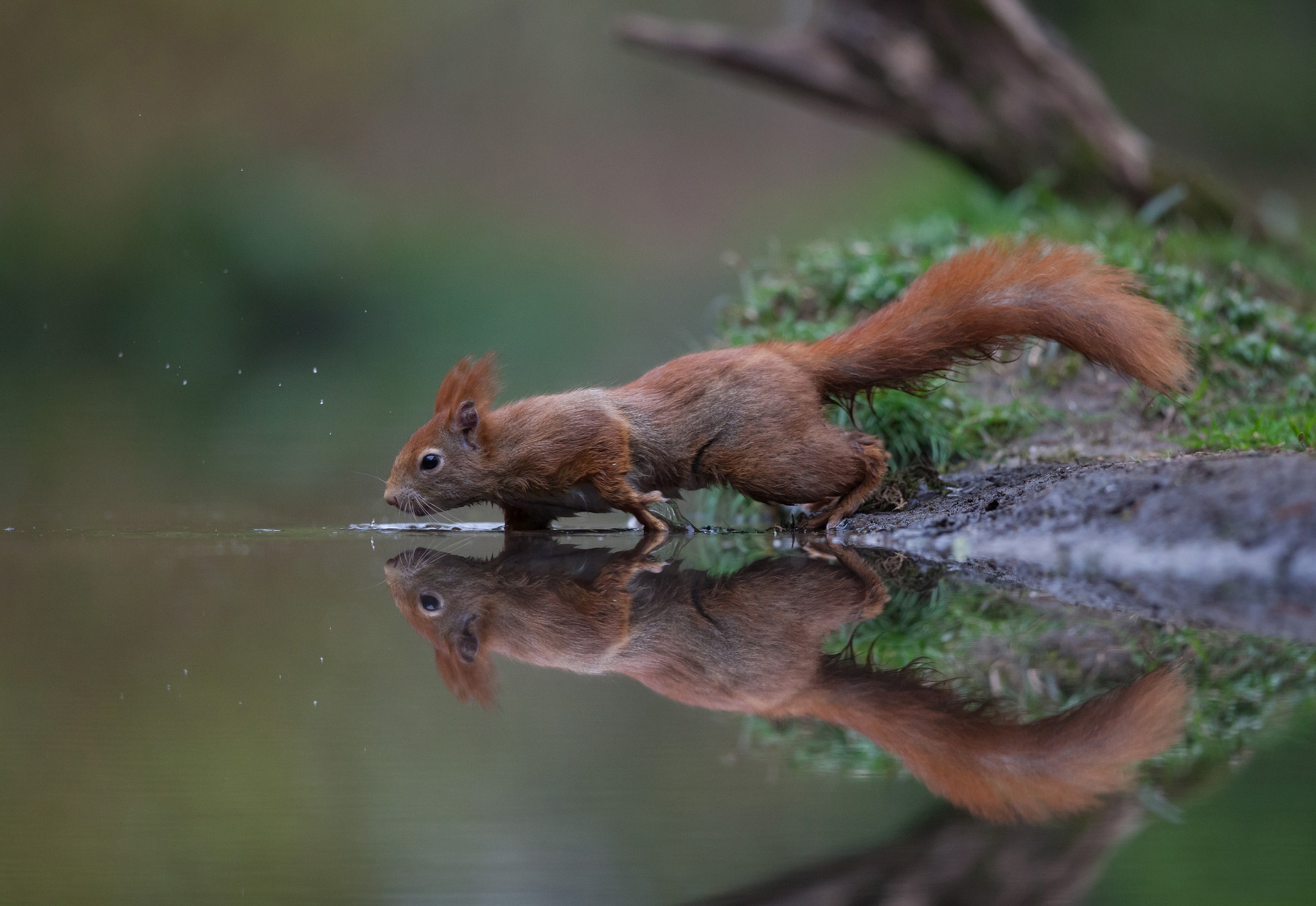 Squirrel Wildlife Rodent Reflection Water Animal 2048x1410