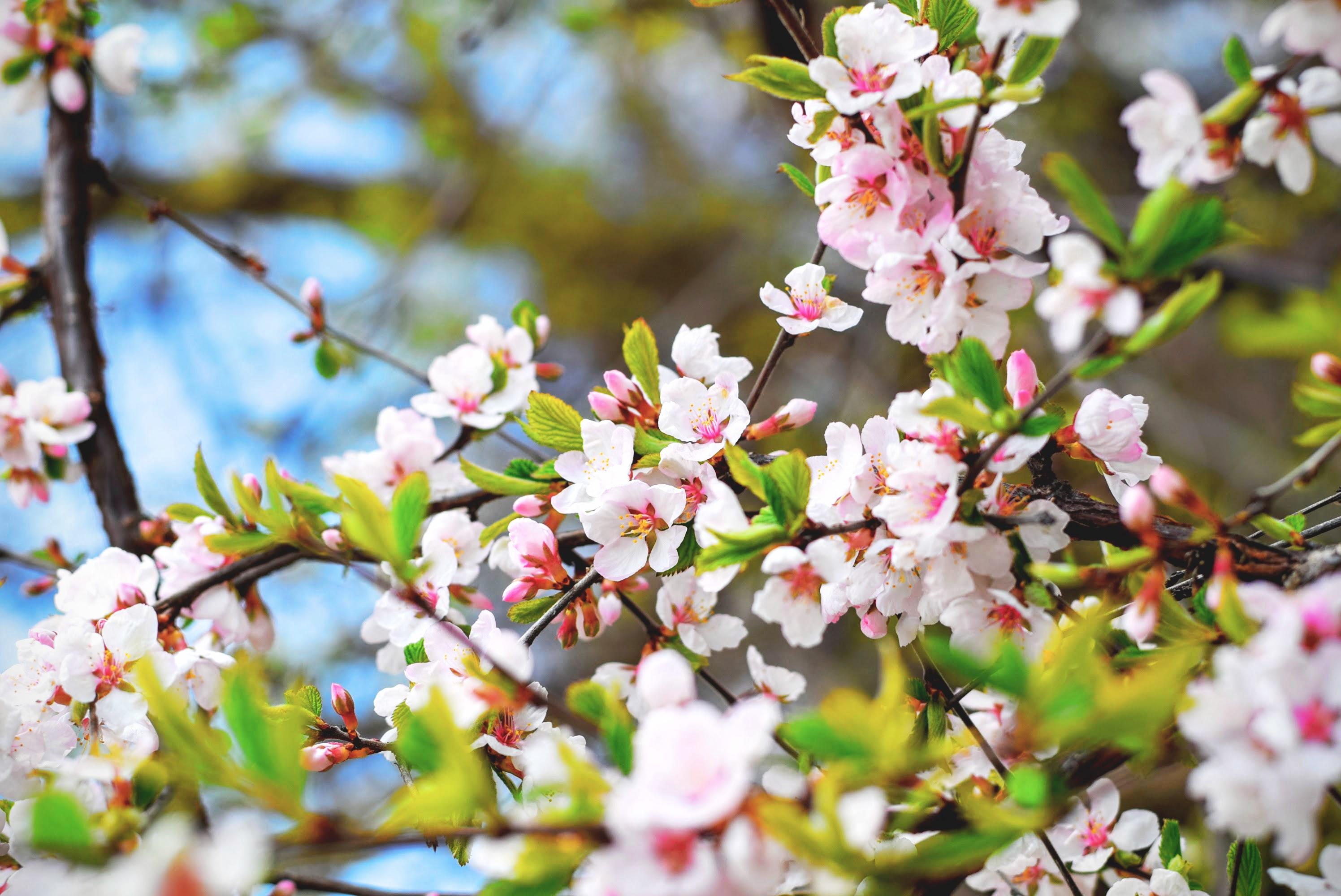 Blossom Flower Nature Branch White Flower Spring 2992x2000