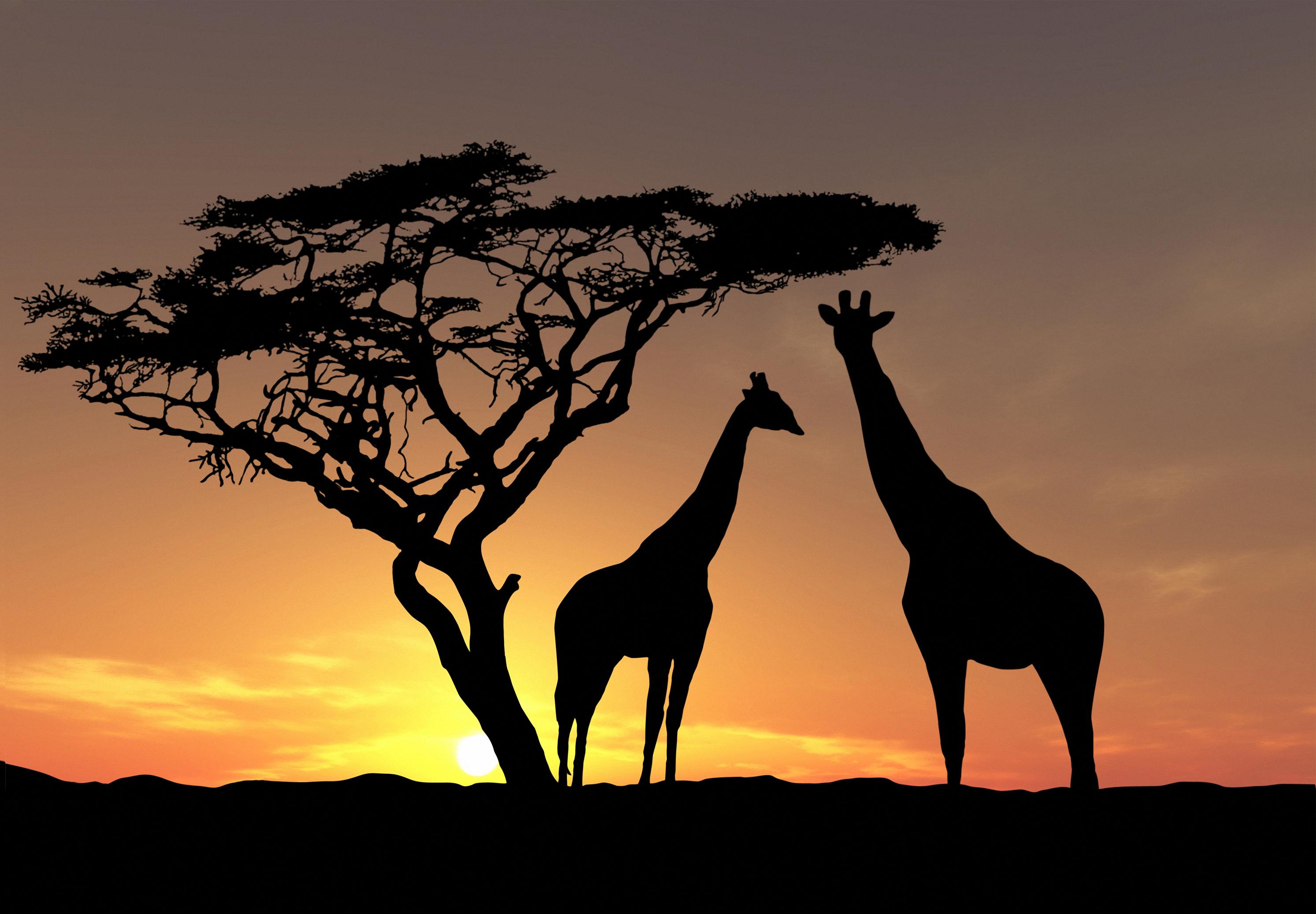 Giraffe 2987x2074