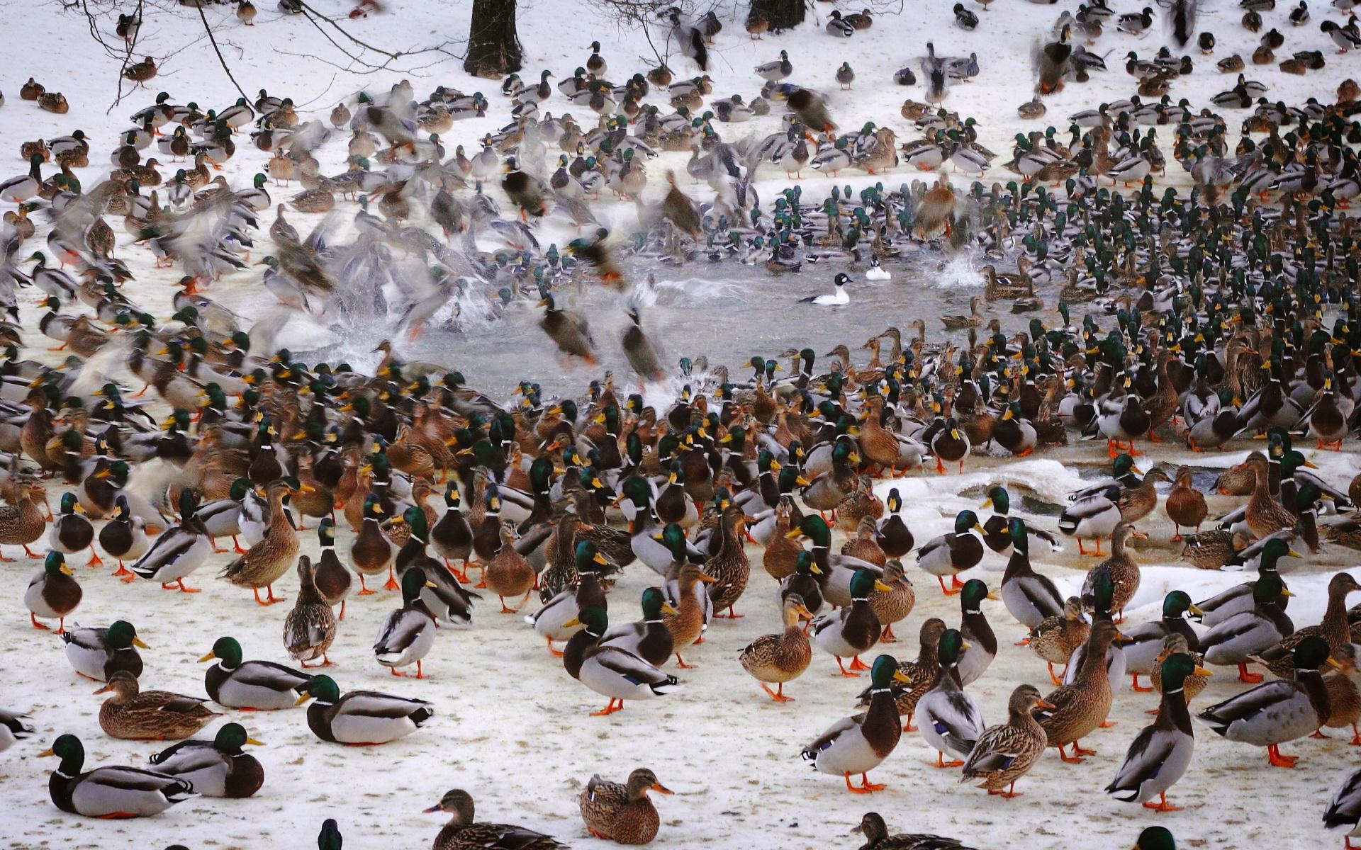 Animal Duck 1920x1200