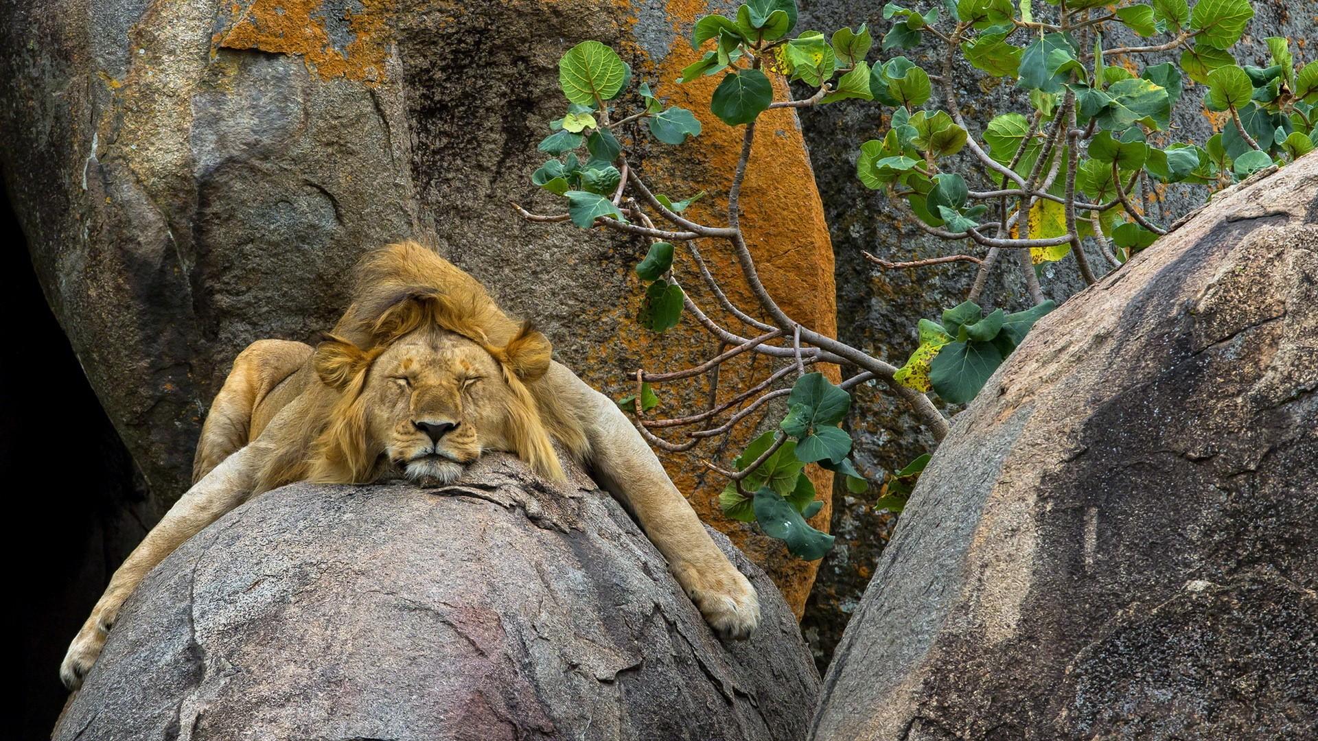 Lion Sleeping Rock Big Cat Predator Animal 1920x1080