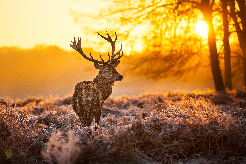 Buck Deer Sunset 4960x3307