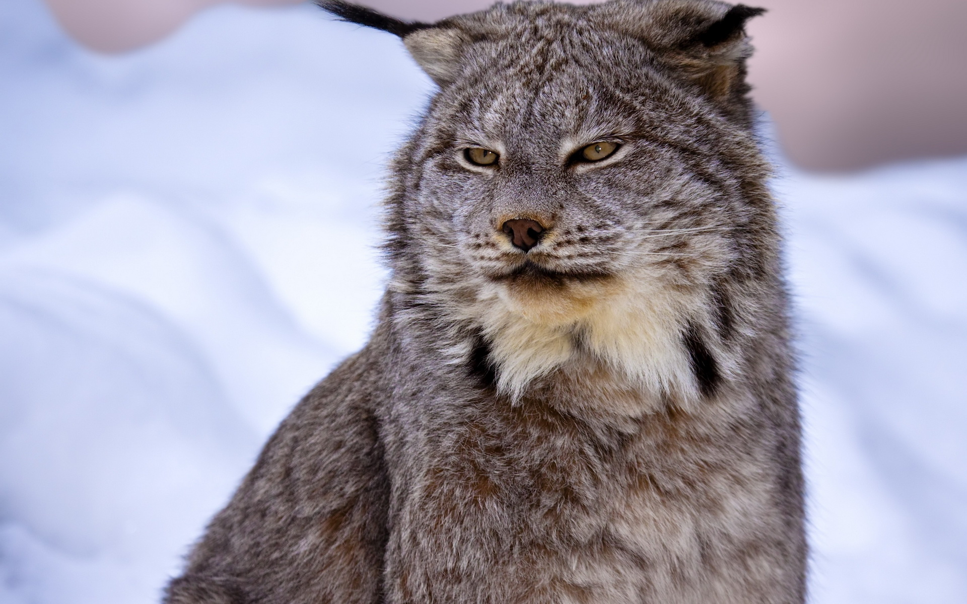 Animal Lynx 1920x1200