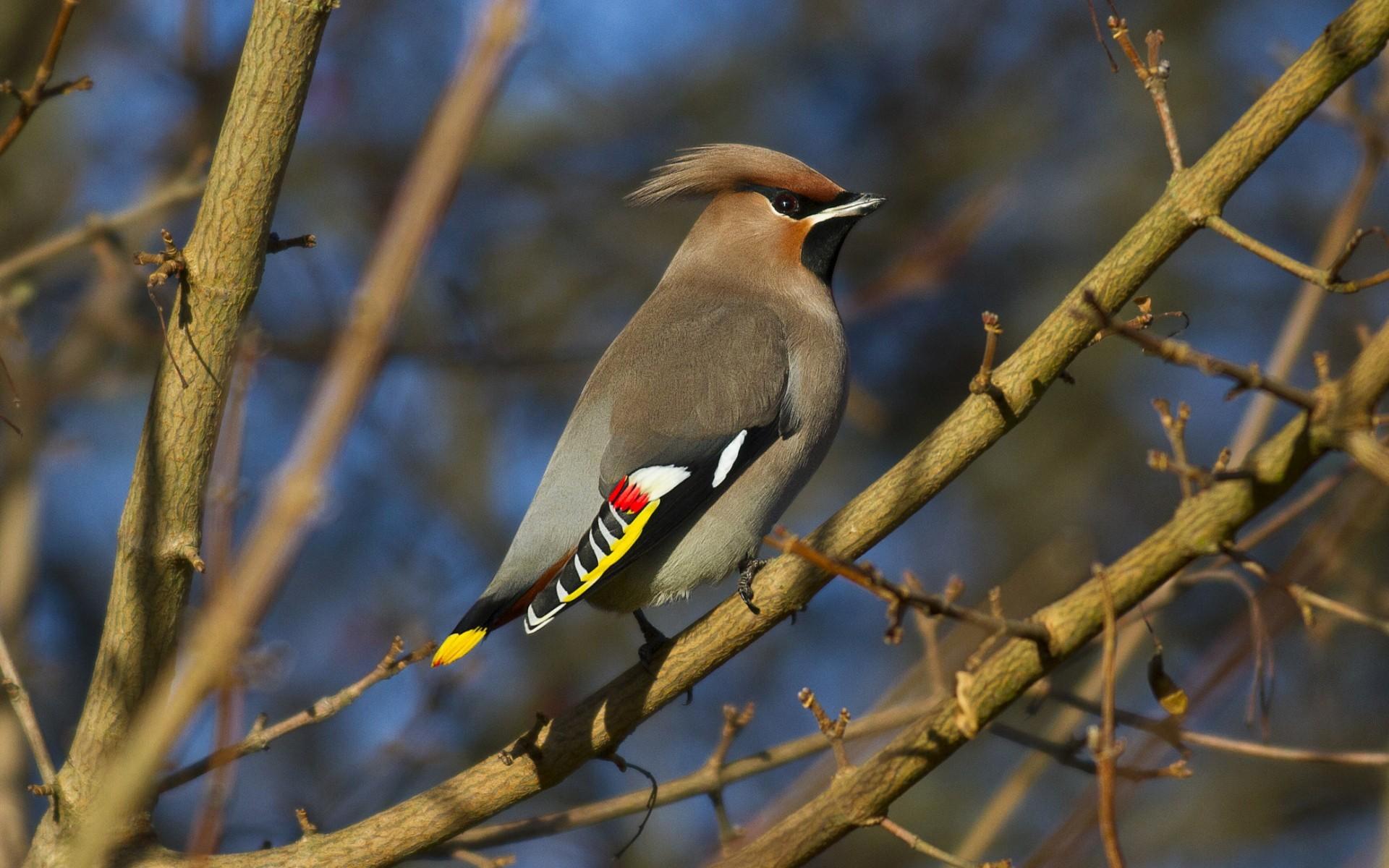 Animal Bird Branch Cedar Waxwing 1920x1200