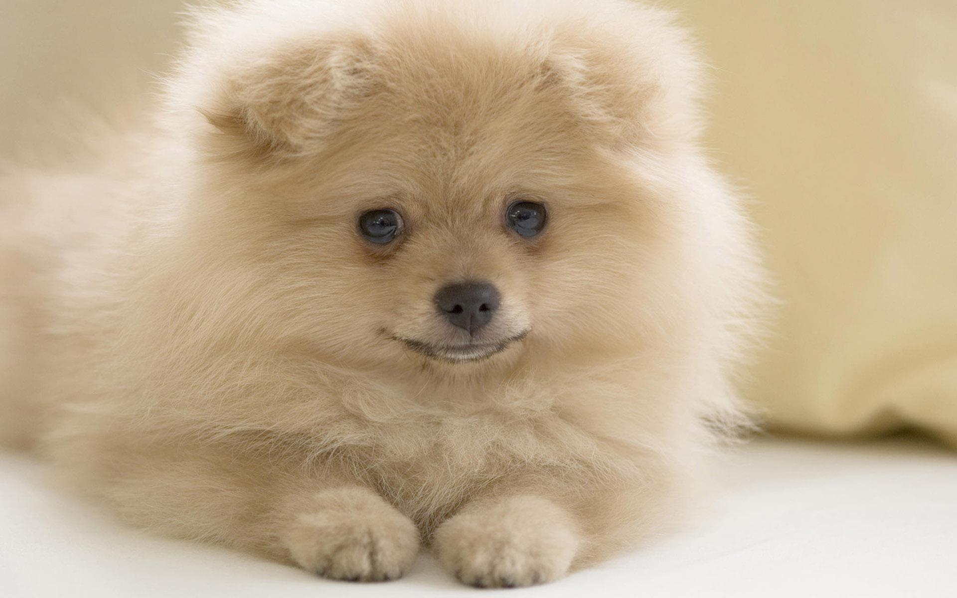 Animal Cute Dog Pomeranian Puppy Wallpaper Resolution 1920x1200 Id 812025 Wallha Com