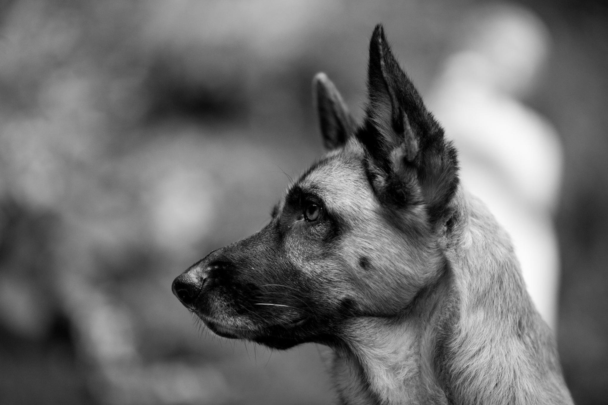 Animal German Shepherd 2048x1365